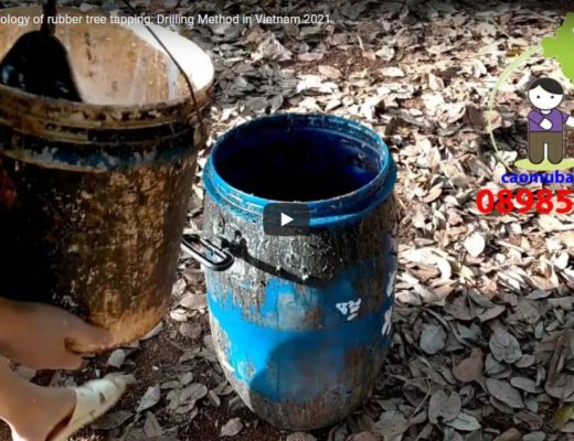 A new technology of rubber tree tapping: Drilling Method in Vietnam 2021
